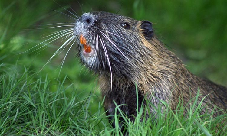 beaver with orange teeth
