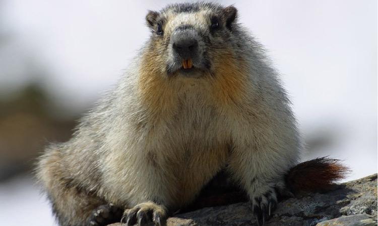 marmot looking at the camera